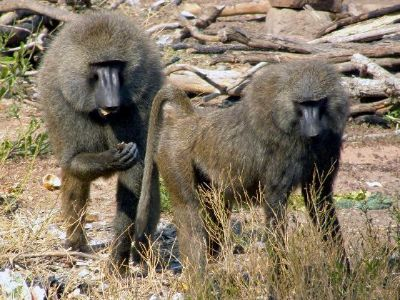 Study: Baboons Recognize Words