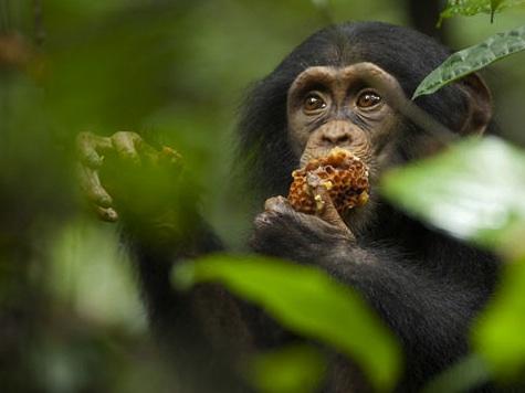 Trailer: 'Chimpanzee'