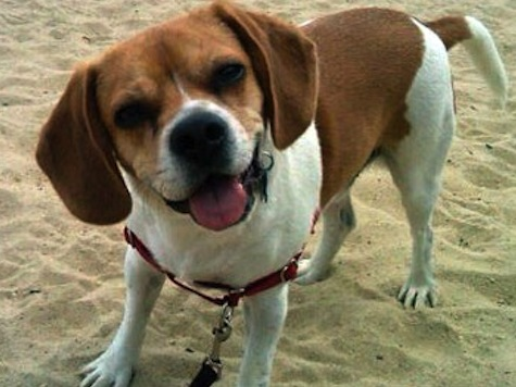 Man Spends $60,000 To Keep Puggle In Dog Custody Fight