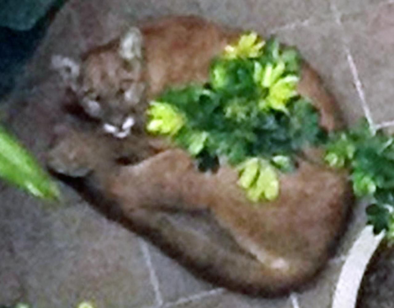 Mountain Lion Shot in Downtown Santa Monica