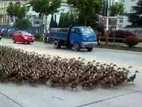 5,000 ducks go for a walk
