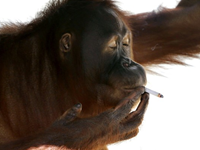 Smoking Orangutan To Be Relocated To Quit Habit