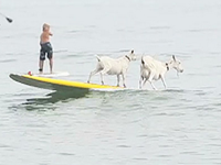 Man Takes Pet Goats Surfing