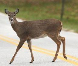 When A Deer And A Motorcyclist Meet Full Speed