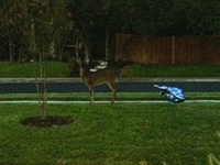 Deer Repeatedly Destroys Only Obama Signs
