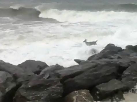 Deer Braves Sandy's Monster Waves on NJ Beach