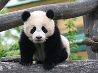 Panda Blood Stronger Than Antibiotics?