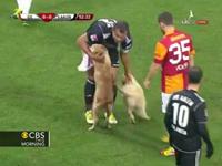 Dogs Stop Soccer Match In Turkey