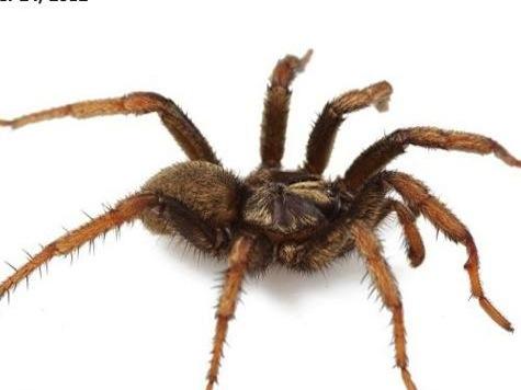 Poisonous Spider Named After Obama