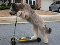 Norman The Dog Rides A Scooter