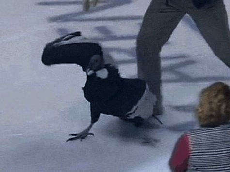 Condor Escapes At Minor League Hockey Game