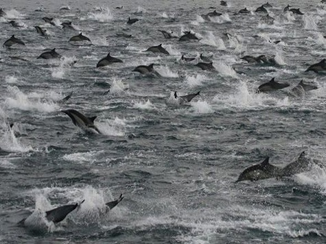 Thousands Of Dolphins Swarm Into 'Super Mega-Pod'