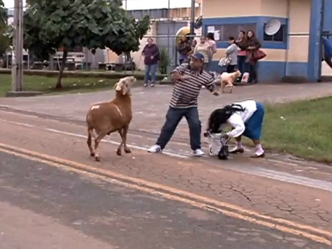 MEANWHILE, IN BRAZIL: Roving Gangs of Goats Terrorize Citizens