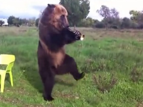 Mind-Blowing: Trained Russian Bear Does Tricks, Does Not Devour Owner