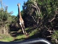 WATCH: Giraffe Chases Jeep