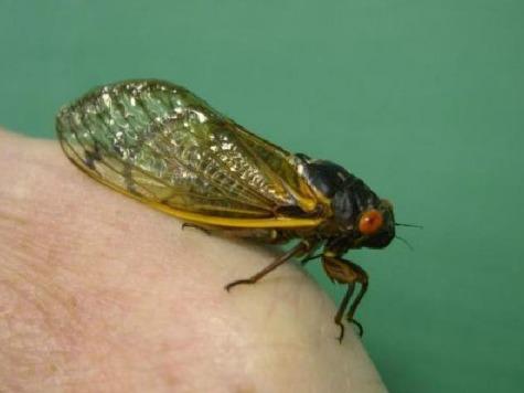 Anchor Eats Cicada Live on Air
