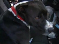 Thief Swipes Vest for Marine's Service Dog