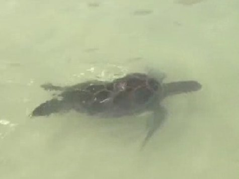 Hotel Releases Sea Turtles for Independence Day