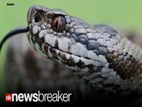 Snake Pops Out Of Toilet, Bites Man