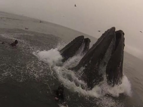 Shocking Video Shows Humpback Whales Nearly Injuring Divers
