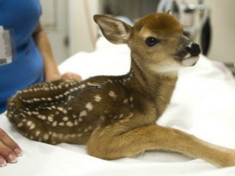 Armed Agents Raid Animal Shelter to Kill Fawn Named 'Giggles'