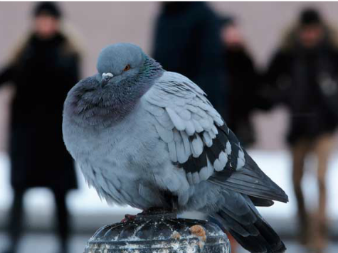 'Zombie' Pigeons Falling from Sky in Russia