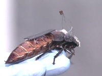 Cyborg Cockroaches to Help Save Lives in Disasters