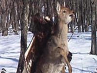 VIDEO: Eagle Attacks Deer