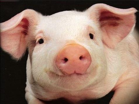 Wild 400-Pound Pigs Terrorizing Atlanta Suburb