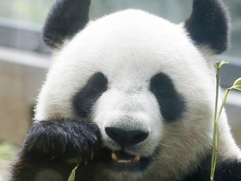 Fox News Super Happy That 'Panda Cam' Survived Shutdown