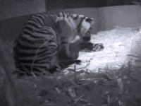 London Zoo Welcomes First Tiger Cub in 17 Years