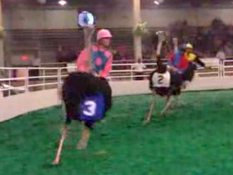 Ostriches Race, Dance at State Fair of Texas