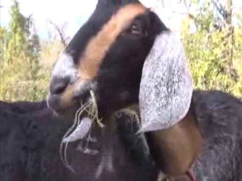 62 Goats Furloughed Thanks to Federal Shutdown