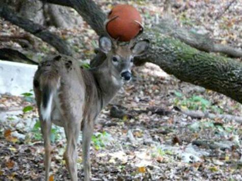 Deer Gets Basketball Stuck in Antlers