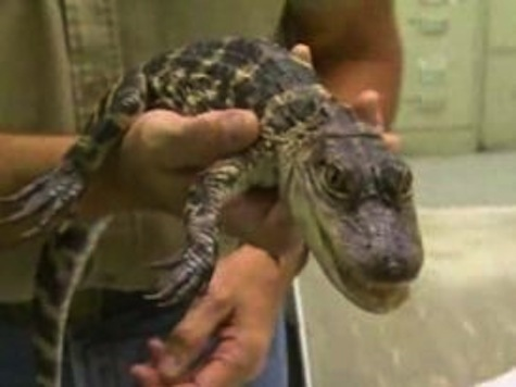 Alligator Captured in Chicago's O'Hare Airport