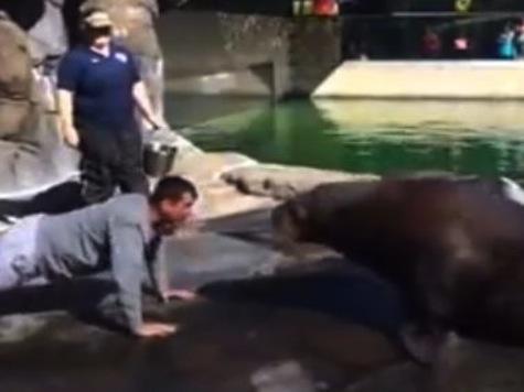 49ers Coach Jim Harbaugh Does Push-Ups with Siku the Walrus