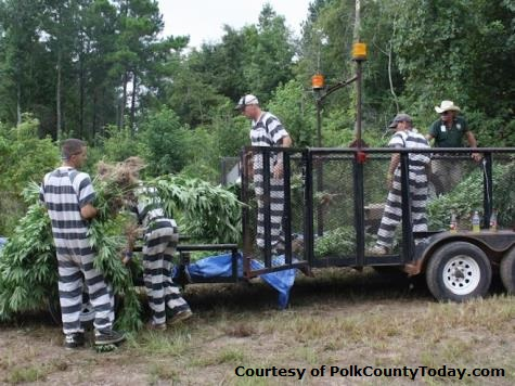 Polk County Deputies Recover 100,000 Pot Plants