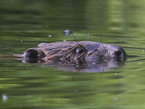 Aggressive Beavers in Belarus on the Attack, Death Toll: One Fisherman