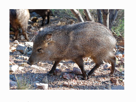 Woman Attacked By Wild Pack of Javelina