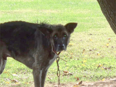 Man Accused of Chaining His Dog to Tree for Four Years…Fined $25