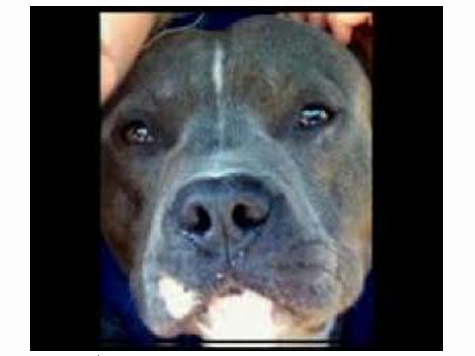 Suspect in Dog Fighting Ring, Taken Down By Pit Bull While Fleeing Police