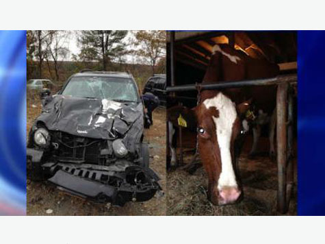 Woman Texting and Driving, Hits Herd of Cows