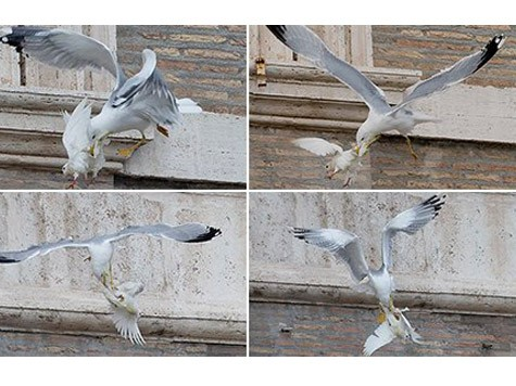 Pope's Peace Doves Attacked By Other Birds Moments After Being Released