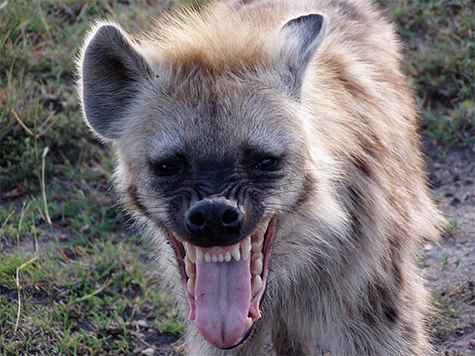 Man Allows Hyena To Eat His Genitals After Told It Would Make Him Rich